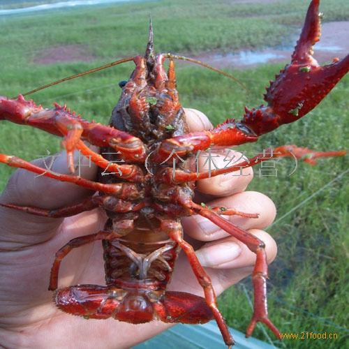 供应淡水小龙虾