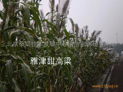 雅津2号甜高粱种子