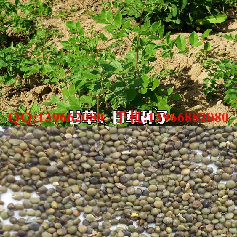 红皮甘草种子,甘草种子价格