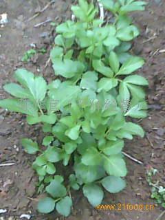 单叶蔓荆子种苗