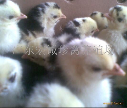 贵妃鸡种苗