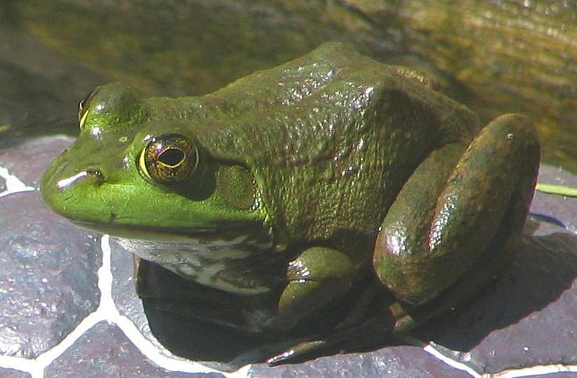 牛蛙用什么喂养_牛蛙一般要养多久_牛蛙在家里怎么养