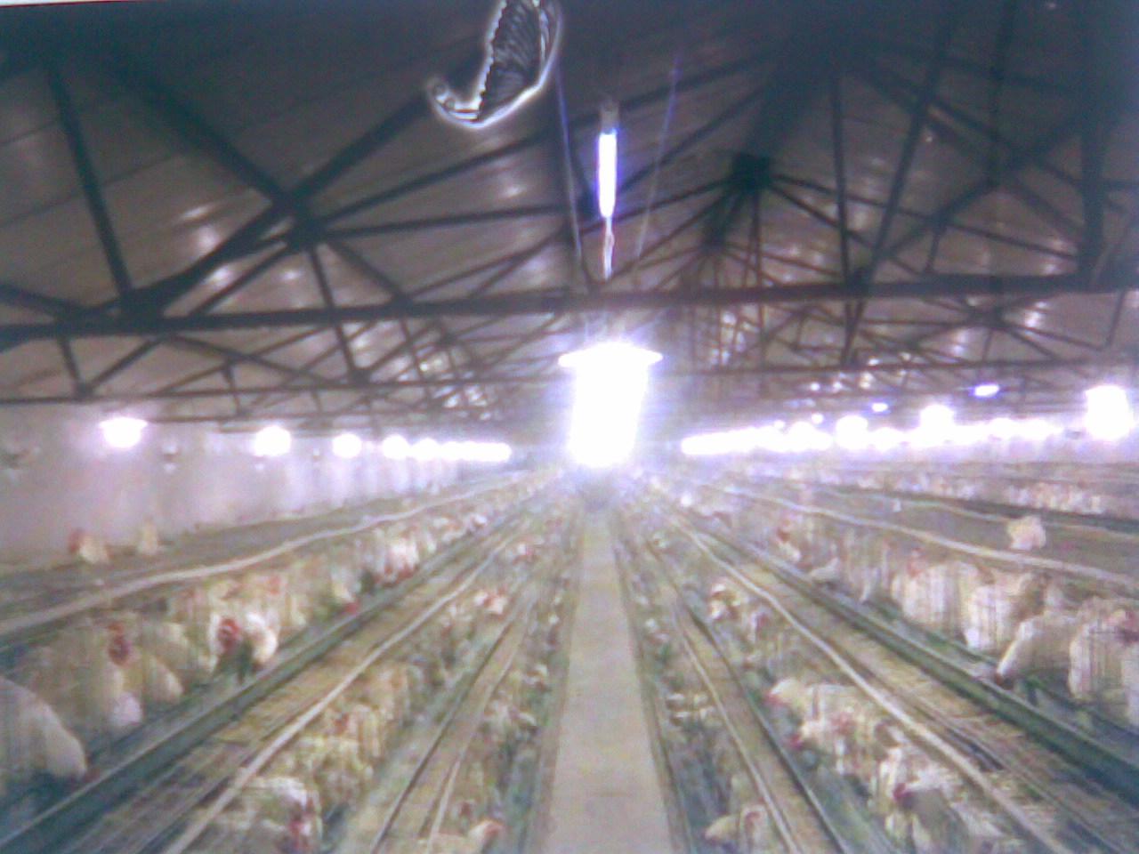 肉羊养殖场简介 土鸡蛋威县永胜蛋鸡养殖场259_中国养羊网; 图片