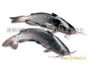 中国淡水鱼图谱,中国淡水鱼图片大全,野生淡水鱼