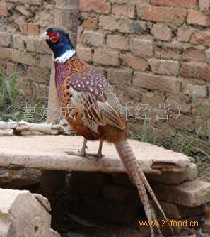 环颈雉保护级别