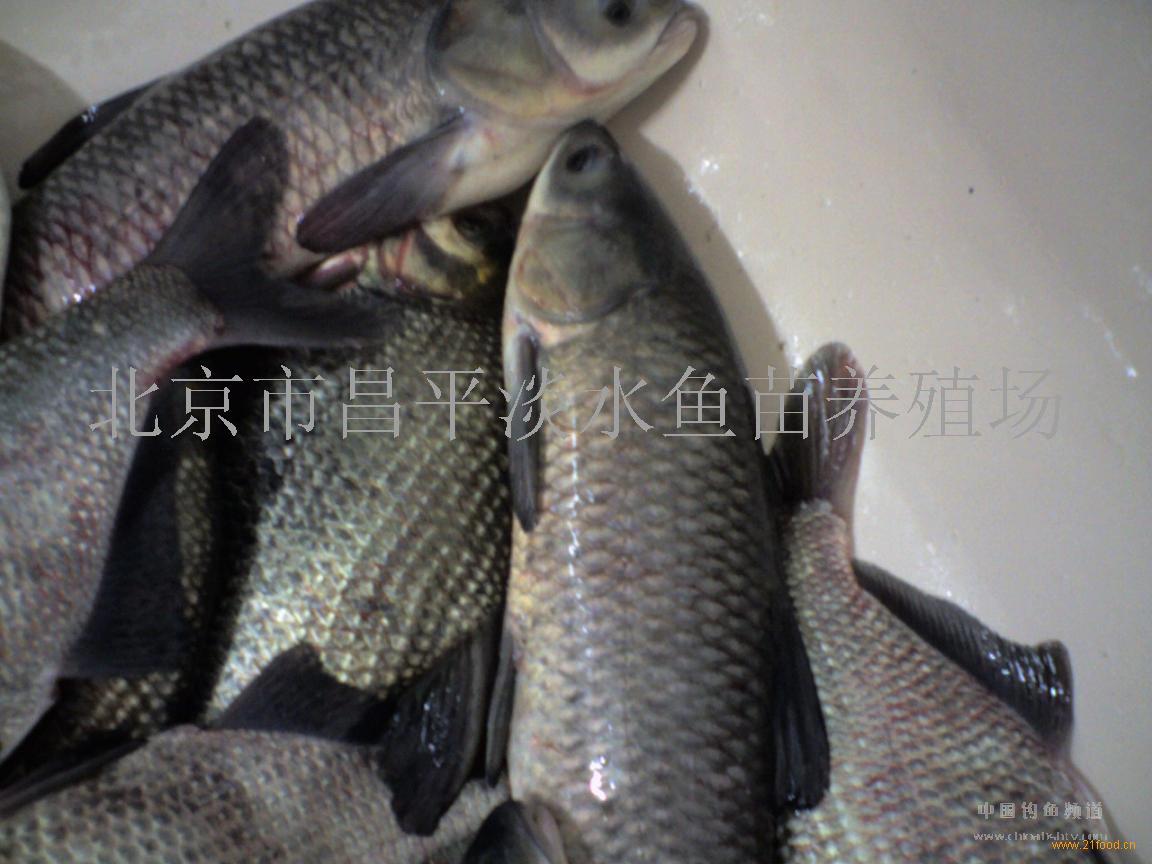 青鱼,青鱼(中国 bj)-北京市昌平淡水鱼苗养殖场