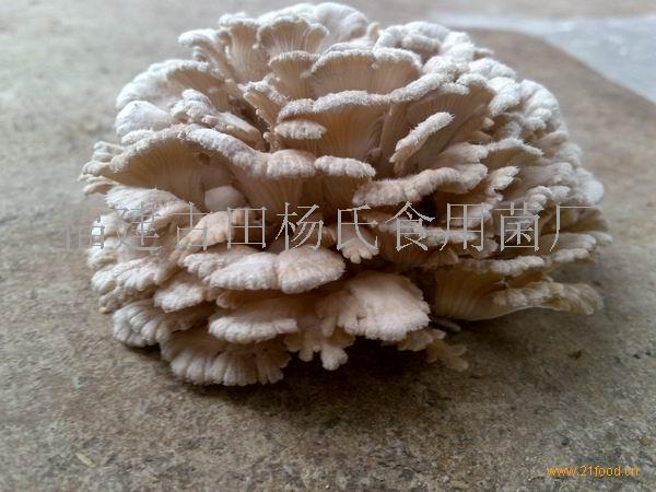 雪蓮菌,雪蓮菌, 白參 菌, 食用 菌 中國 福建寧德 木