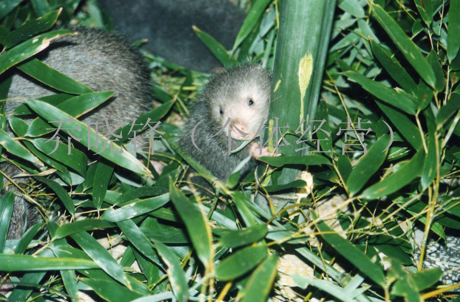 中华竹鼠,竹鼠种苗提供