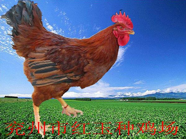 纯红羽肉杂鸡苗