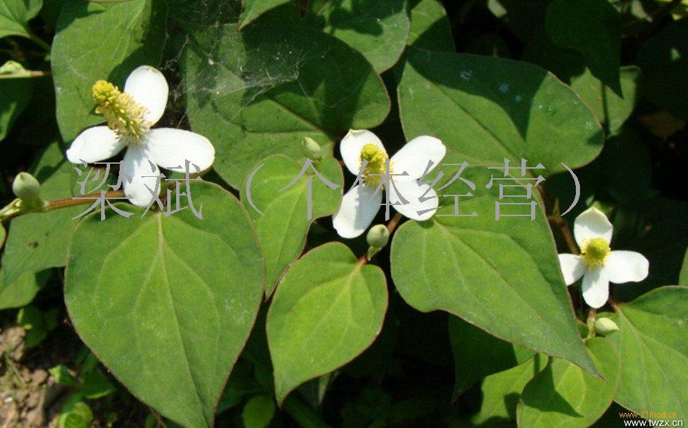 鱼腥草提取物批发价格@陕西西安 木森生物 植物提取物-食品商务网