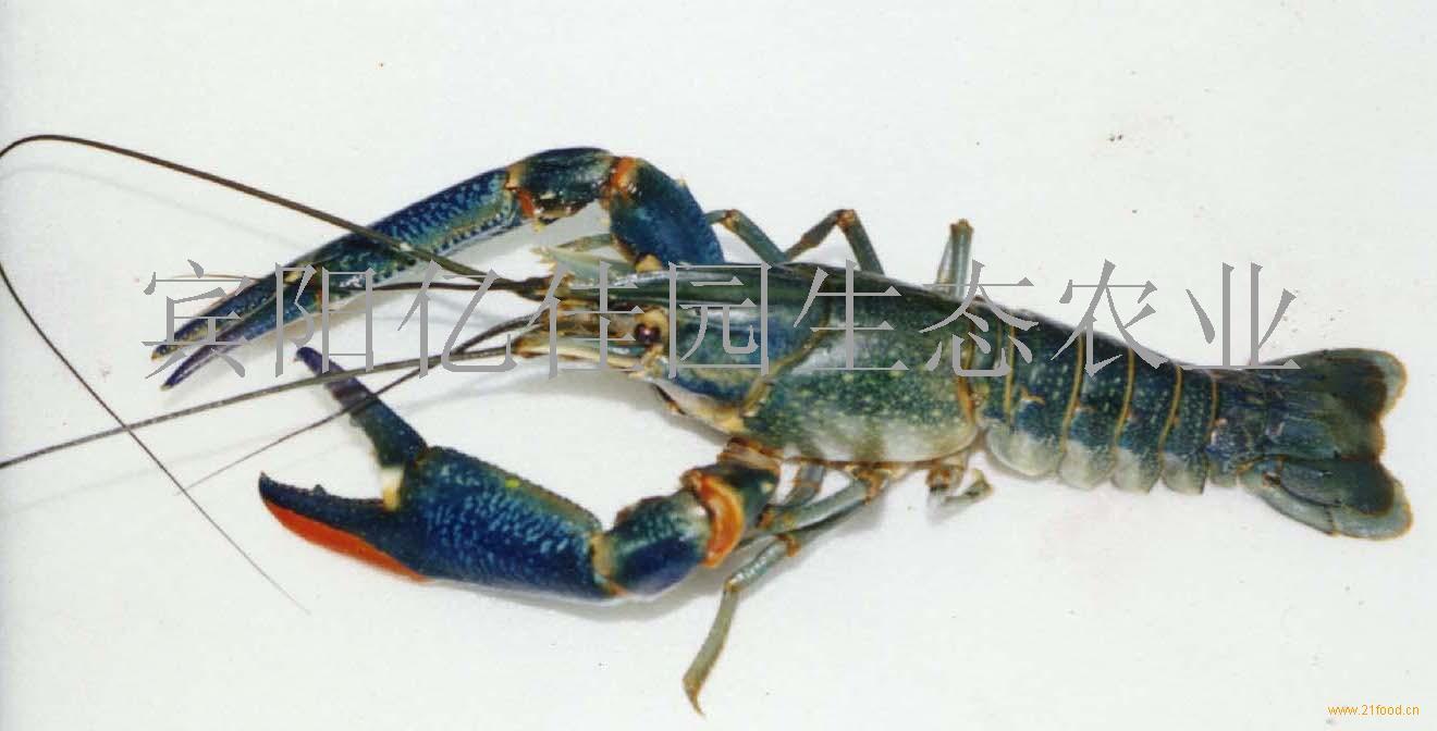 供应澳洲淡水龙虾