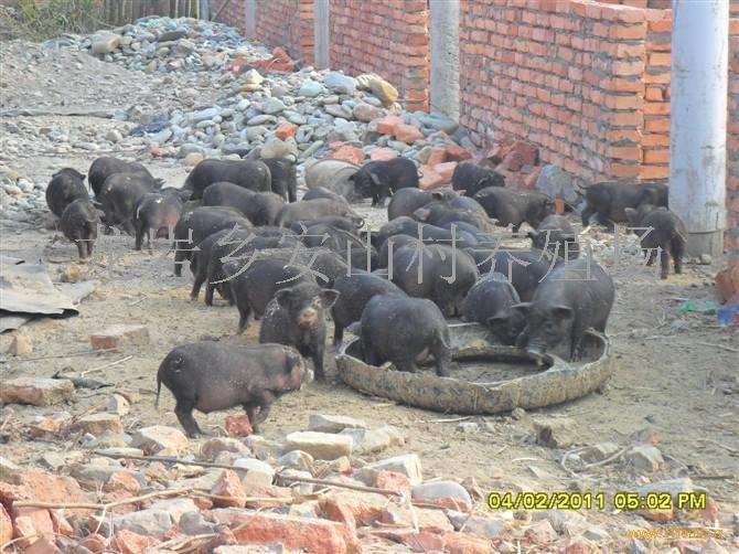 环江香猪-中国 广西河池-环江香猪
