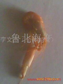鹰爪虾 钩虾(爪虾)