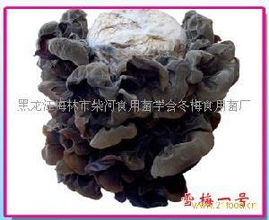 黑木耳菌种雪梅一号