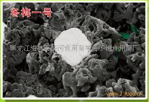 黑木耳菌种冬梅一号