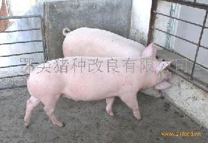PIC康贝尔L42母猪