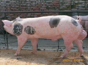 HYB公猪