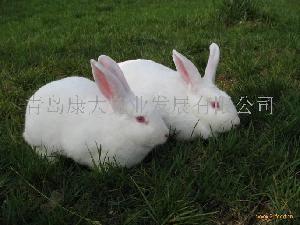 纯种新西兰兔