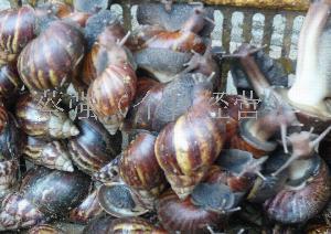 新鲜玛瑙蜗牛