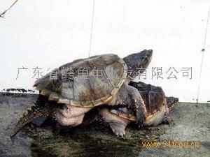 鳄鱼龟种龟