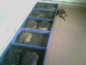 鳄鱼龟商品龟