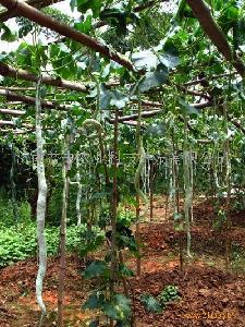 农业观光项目 美国蛇瓜