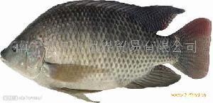 广西罗非鱼