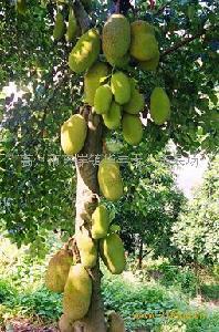 四季蜜树菠萝