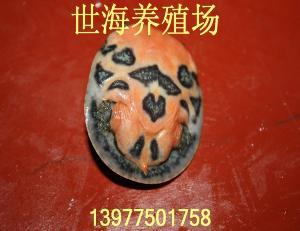 黄沙鳖(苗)