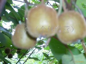 野生猕猴桃