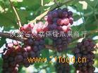 陕西优质红提葡萄产地红提葡萄批发价格