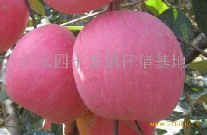 山东优质红富士苹果产地