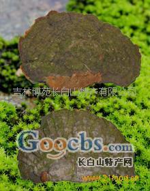 松針層孔菌