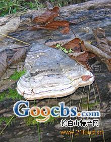 野生木蹄层孔菌