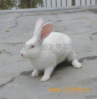 伊拉兔配套系祖代