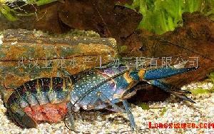 澳洲红螯螯虾