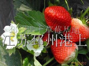 美国甜草莓
