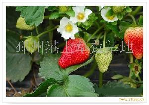 草莓美国甜查理