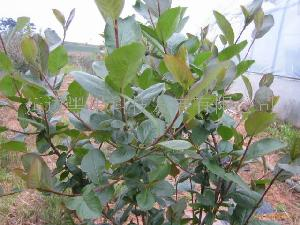 黑果腺肋花楸苗木