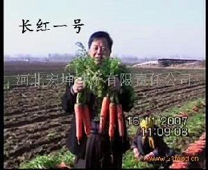 三系杂交胡萝卜种子长红一号