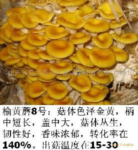 榆黄蘑菇菌种