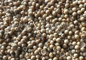 甘肃玉门香菜籽