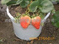 美观盆景草莓苗