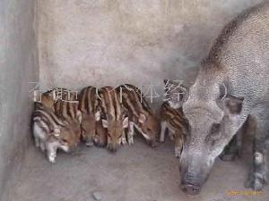河北石家庄特种野猪