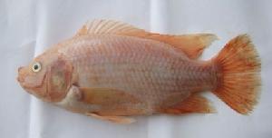 台湾金花鲷鱼