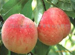 运城桃子(15534886915)优良品种--水晶桃