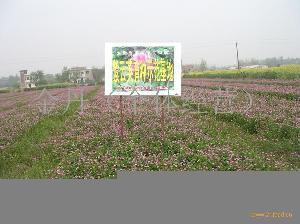 紅花草籽(紫云英)
