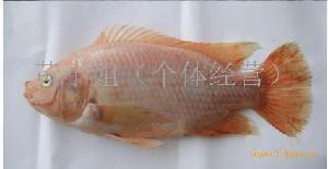 台湾金花鯛魚苗