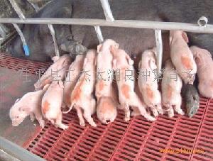 太湖原种猪仔