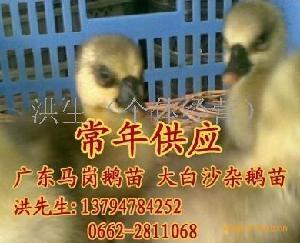 广东黄鬃鹅苗